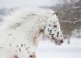 pony appaloosa portrait - 38365980
