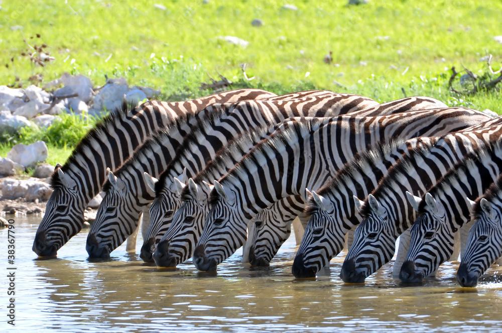 Fototapety, obrazy: Zebras am Wasserloch