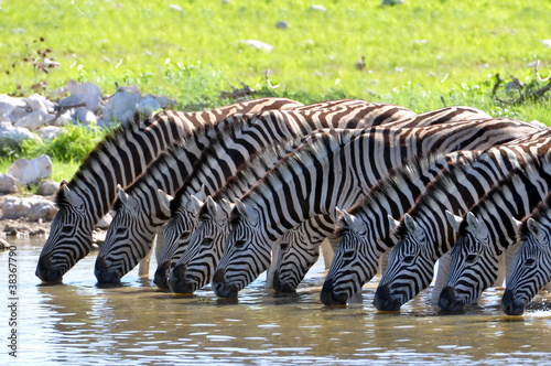 Photo sur Aluminium Zebra Zebras am Wasserloch