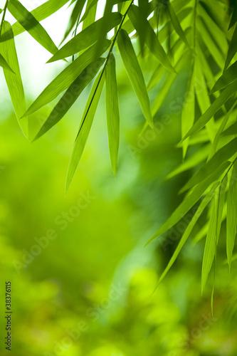Fototapeta bambus   liscie-bambusa