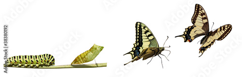 Poster Vlinder Metamorphosis of the European Swallowtail