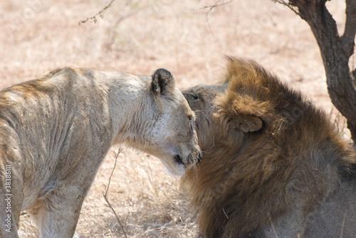 Photo  Leone con leonessa