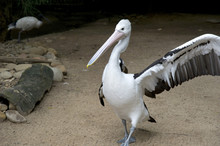 Pelican With Raised Wing