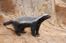 A Honey Badger (Mellivora Cape...