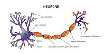Web Art Design NEURON DIAGRAM NEURONE STRUCTURE Médecine 10
