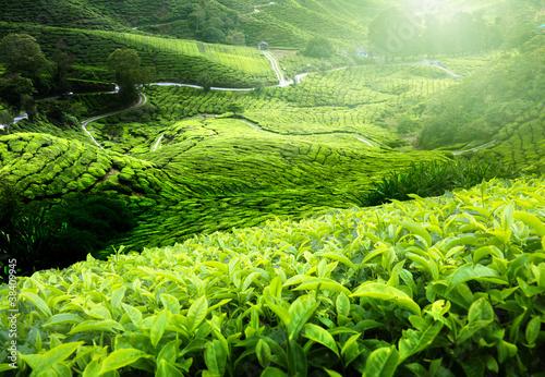Tea plantation Cameron highlands, Malaysia Wallpaper Mural