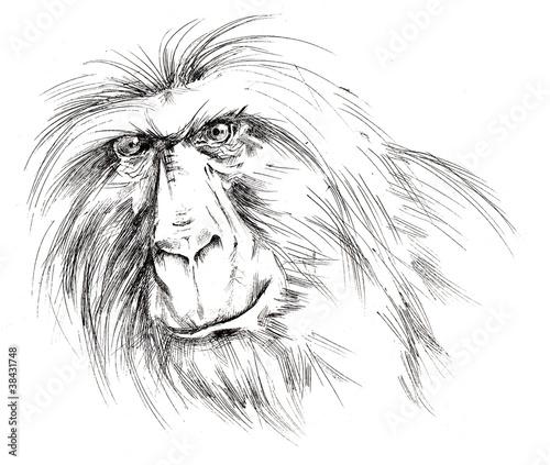 Photo sur Toile Croquis dessinés à la main des animaux ape