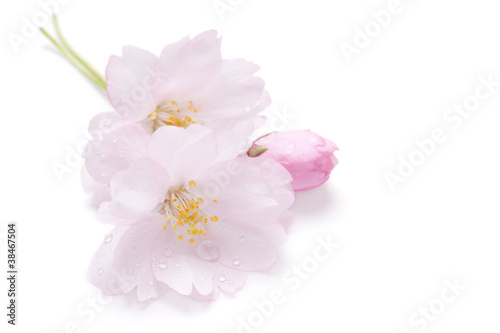 Ingelijste posters Kersenbloesem Blossom of Japanese cherry, isolated on white with water drops