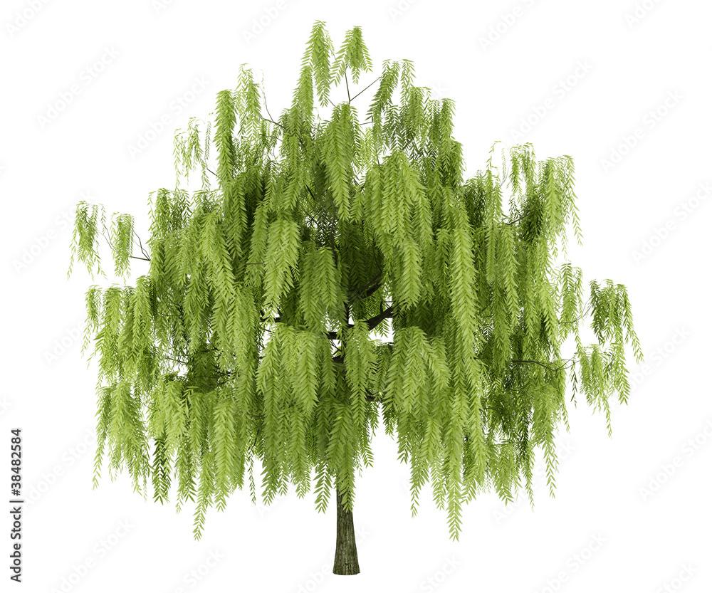 Fototapeta willow tree isolated on white background