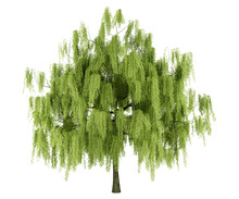 Willow Tree Isolated On White ...