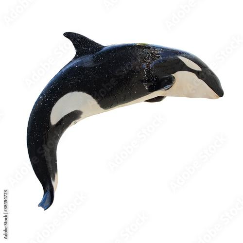 Fotografie, Obraz  Skákající Kosatka, Orcinus orca