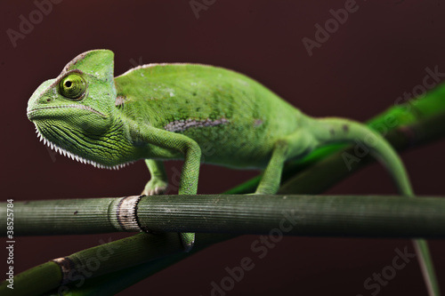 Green chameleon on bamboo #38525784