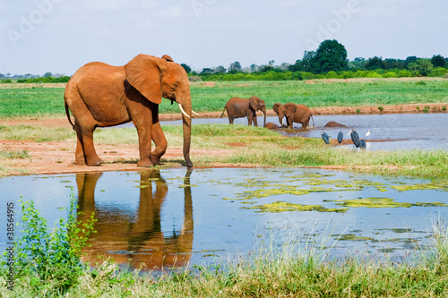 Huge male African elephant drinking water at a waterhole Canvas Print