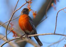 North American Robin Turdus Migratorius In Warm Sunset Light