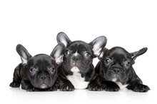 French Bulldog Puppies On A White Background