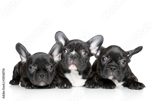 Poster Bouledogue français French bulldog puppies on a white background