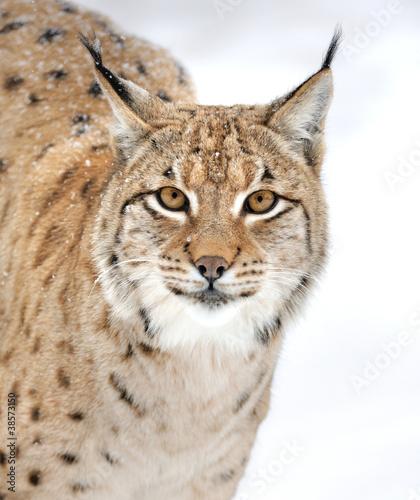 Poster Lynx Lynx in winter