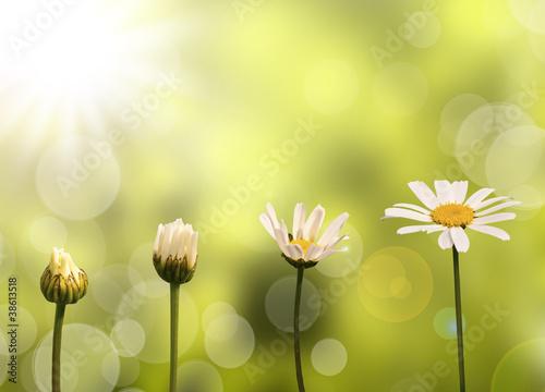 Fototapeta Etapes de développement et de croissance d'une pâquerette, fond vert et soleil obraz