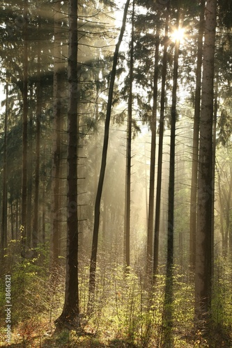 Papiers peints Foret brouillard Rising sun enters the coniferous forest on a foggy day