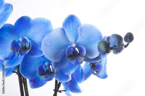 Papiers peints Orchidée Orchidée Bleue