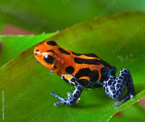 Fotomural red poison dart frog