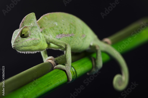 Green animal, Chameleon #38636523