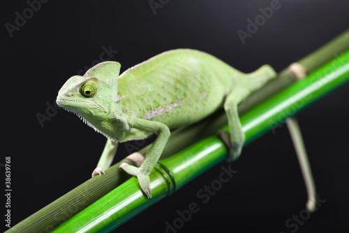 Chameleon #38639768