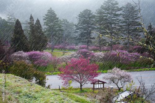 Plum flower in garden