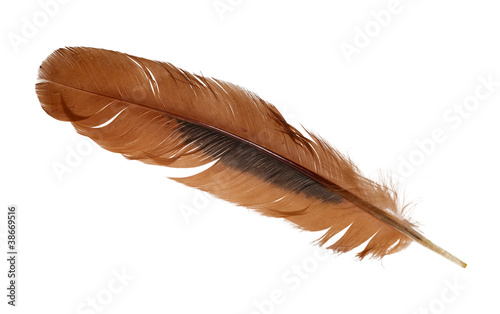 ginger rooster feather on white