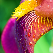 Purple Iris Close-up