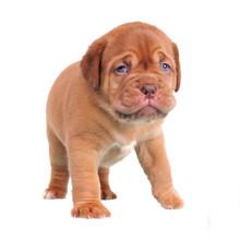 Walking Dogue De Bordeaux Puppy