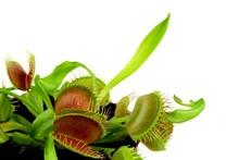 Carnivorous Plant.  Venus Flytrap ( Dionaea Muscipula )