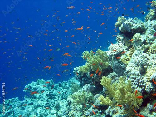 Fotografie, Obraz  Barriera corallina e Anthias - Coral Reef and Anthias