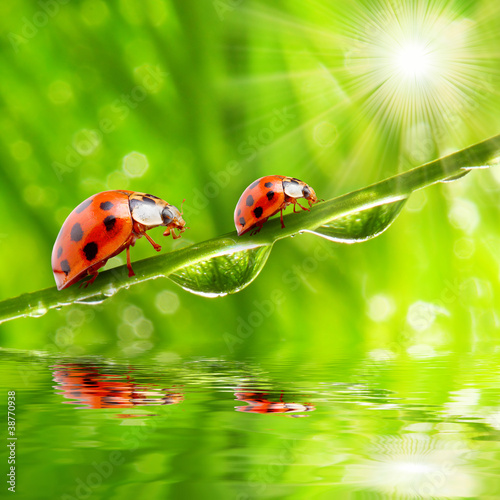 Canvas Prints Ladybugs Two ladybugs on a dewy grass.