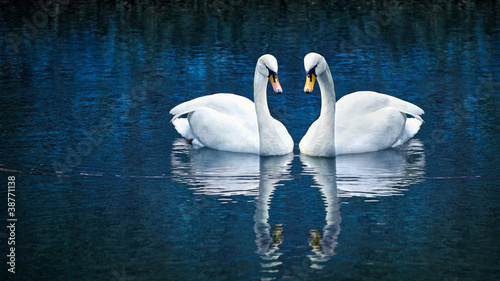 Poster Cygne Two white swan