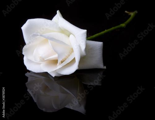 Single fallen white rose on black background