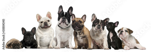 Poster Bouledogue français Group of French bulldogs in front of white background