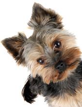 Portrait Of Yorkshire Terrier ...