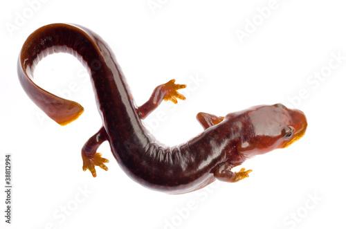 Photo Chinese tsitou salamander newt