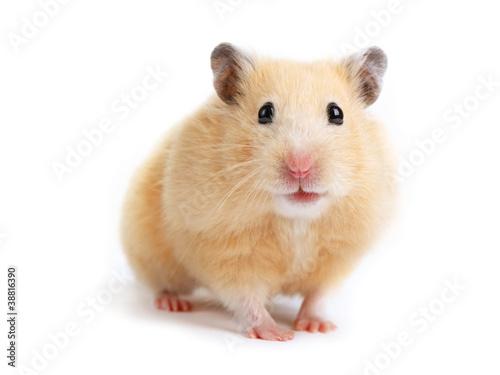 Fotografie, Obraz  Hamster