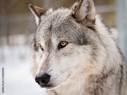Photo  wolf portrait