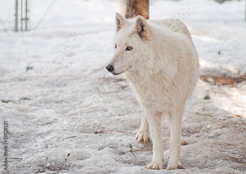 Платно  captive wolf