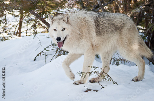 Платно  Female Wolf