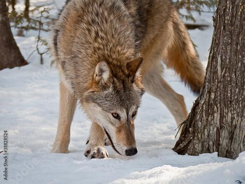 Платно  Wolf