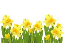 Yellow Daffodils Flowers.