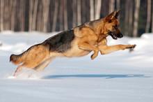 Purebred German Shepherd Jumps...
