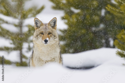 Obraz na plátně Coyote in Snow Storm. Yellowtone National Park, Wyoming.