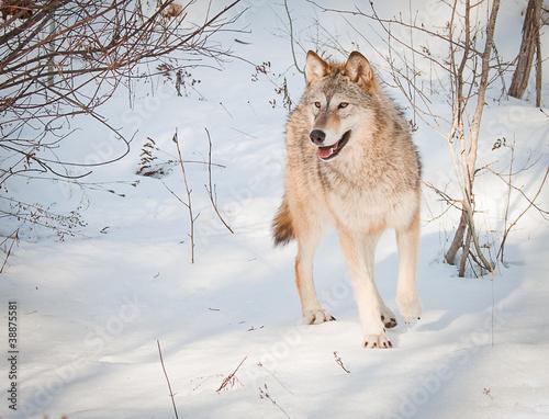 фотография  attentive wolf
