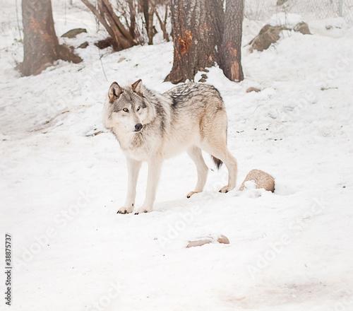 фотография  Adult male wolf