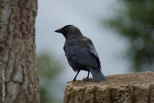 Fotografia, Obraz  Jackdaw - Corvus monedula